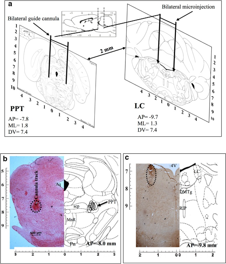 a , Diagrammatic representation of rat brain atlas sections through PPT (left) and LC (right) showing implantation of guide cannulae for microinjections into respective sites. b , c , Photomicrographs of representative histological hemisections of experimental rat brains through ( b ) PPT (neutral red stained) and ( c ) LC (TH antibody immunostained) aligned against corresponding rat brain atlas hemisection have been shown. Reconstructed microinjection on-target sites of NA into PPT ( n = 5) have been shown (open circle) on the right half of the brain atlas hemisection ( b ). As the TH-shRNA was microinjected into the LC during surgery and the injector cannula was removed, it was extremely difficult to trace the extension of the cannula tract on the histological sections. Hence, we confirmed the microinjection site by identifying very few TH-positive neurons in the anatomical LC site (as marked). 4V, 4th ventricle; Aq-, aqueduct; DMTg, dorsomedial tegmental area; MnR, medial raphe nucleus; Pn, pontine nuclei; RIP, raphe interpositus nucleus; scp, superior cerebellar penducle.