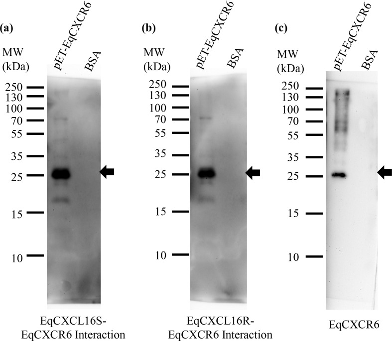 "Effect of amino acid substitutions between ""S"" and ""R"" isoforms of EqCXCL16 on binding to the EqCXCR6 receptor protein in vitro . Interactions between purified recombinant EqCXCL16S/R-EqCXCR6 were examined using Far-WB. Equal amounts (20 μg) of His-tagged EqCXCR6 protein or BSA as a control were separated in different lanes on 10% SDS-PAGE and transferred onto a PVDF membrane. Proteins were then sequentially denatured and renatured by using different concentrations of Gn-HCl. After blocking, the membranes were incubated with soluble EqCXCL16S (panel a) or EqCXCL16R (panel b) protein (5 μg/ml) followed by Rb α-EqCXCL16 Ab. After washing, membranes were developed using the ECL method. Binding of EqCXCL16S and EqCXCL16R to EqCXCR6 is indicated by arrows (panels a and b). These interactions occurred at the same location as that occupied by EqCXCR6; this was confirmed by stripping the membrane shown in panel b and re-probing it with anti-His antibody as shown in panel c."