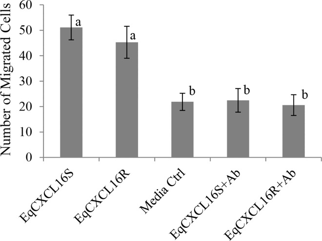 "Effect of amino acid substitutions between ""S"" and ""R"" isoforms of EqCXCL16 on chemoattractant properties of EqCXCL16S and EqCXCL16R. Purified recombinant soluble forms of EqCXCL16S and EqCXCL16R proteins (2 μg/ml) in RPMI medium containing 0.5% BSA were added to the lower compartment of a Boyden chemotaxis chamber separated from the upper by a polycarbonate filter having a 3 μm pore size; CD3 + T lymphocytes (5 x10 5 ) labelled with Calcein-AM were added to the upper chamber and incubated for 6 h. The cells that passed through the filter were counted with a fluorescent microscope and represented in a bar diagram. Controls consisted of RPMI with 0.5% BSA and EqCXCL16 (S and R) pre-treated by incubation with Gp α-EqCXCL16 pAb. No statistically significant differences were found in chemoattractant potential between recombinant EqCXCL16S and EqCXCL16R proteins whereas CD3 + T lymphocyte migration in response to pre-treatment of these molecules with Gp α-EqCXCL16 pAb was similar to that observed in the medium only control. Experiments were repeated independently three times. The bar diagram represents mean ± SD, P"