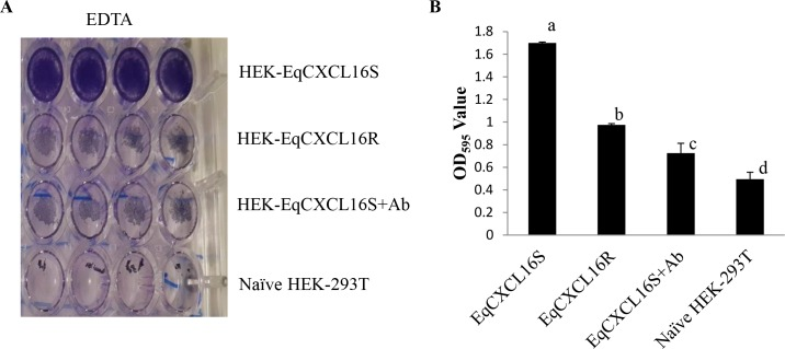 Cellular adhesion properties of EqCXCL16S and EqCXCL16R. Naïve HEK-293T, stable HEK-EqCXCL16S and HEK-EqCXCL16R cells (5 x 10 5 cells/well) with or without pre-treatment with Gp α-EqCXCL16 pAb were permitted to adhere for 24 h before incubation with 0.5M EDTA for 10 min at 37°C, fixation in 4% PFA, and staining with 0.1% crystal violet. The dye was then extracted with 10% acetic acid prior to determining OD 595nm values. A) Representative image of a 24-well plate stained with crystal violet following EDTA treatment showing the differences in adhesion of the different HEK-293T-derived cells. B) Stable HEK-EqCXCL16S cells possess significantly higher adhesion properties that can be eliminated by pre-treatment with Gp α-EqCXCL16 pAb compared to naïve HEK-293T or HEK-EqCXCL16R cells. Mean OD 595nm values ± SD of the cell lysate are presented in the bar diagram. P
