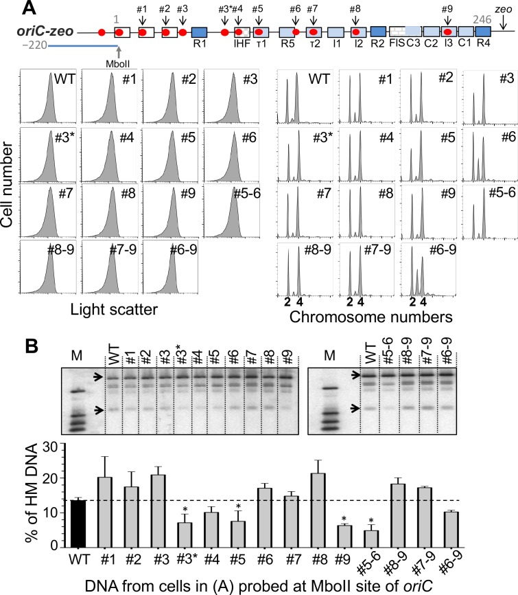 Effect of GATC mutations in oriC on initiation synchrony and the level of HM DNA at the MboII site of oriC . (A) The top line shows a schematic map of oriC as in Fig 1B except for an additional GATC site (#3*) included in this study. In these experiments oriC was marked with a zeo drug R cassette. GATC sites at positions #1–9 and #3* were individually mutated to GTTC and the mutant cells were analyzed by flow cytometry as in Fig 3A before and after replication run-out. Cells were also studied after combining some of the mutations (#5–6 etc.). (B) HM DNA levels as in Fig 2A except that the levels were measured at the MboII site for all. The black bar represents the HM DNA level in the WT strain ( zeo marked but without any GATC mutation within oriC ) and the grey bars the same strain with individual or multiple GATC mutations. The error bars were determined as in Fig 2B . Mutants whose HM DNA levels were significantly different from the WT ( p- value