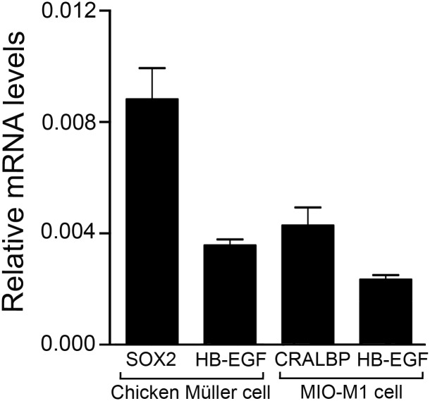 Expression of HB-EGF in chicken Müller cells and in human MIO-M1 cell line. QRT-PCR analysis of heparin binding epidermal growth factor (HB-EGF), transcription factor SOX2 and cellular retinaldehyde-binding protein (CRALBP) mRNA levels in primary chicken Müller cell and in human MIO-M1 cell cultures. SOX2 and CRALBP were included as expression references known to be expressed in Müller cells. Bar graph showing the relative mRNA levels in relation to β-actin mRNA levels. Bar graph is mean ±SEM, n > 5.