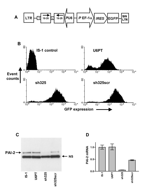 Effective gene silencing using lentiviral vectors for RNAi. The gene transfer cassette common to each vector for RNAi is shown in A. Each construction for RNAi was designed for expression of a shRNA, homologous to the target mRNA or with a scrambled sequence, driven by the RNA polymerase III-controlled human U6 promoter and ending with a terminator (T) sequence. The shRNA is represented by two arrows which encode 19 to 25 nucleotide complementary sequences and are joined by an eight nucleotide loop (L). EGFP expression is via the EF-1α promoter, oriented in the opposite direction, driving an IRES sequence and the EGFP gene. Each cassette is flanked by the HIV long terminal repeats (LTR), of which the 3' LTR is modified to ensure that the vectors are self-inactivating upon integration (SIN). B shows flow cytometry analysis of non-transduced IS-1 cells and cells four days after transduction with the U6PT control vector, a vector for expression of shRNA complementary to a region of the PAI-2 mRNA (sh325) and a vector for expression of a shRNA with a scrambled sh325 sequence (sh325scr). C shows an immunoblot for detection of PAI-2 in the cell lysate of these cells. NS highlights a single non-specific band which is consistently detected in PAI-2 immunoblots using IS-1 cell lysates. In D, PAI-2 mRNA levels from the same samples are measured by QRT-PCR of cDNA, using the ΔCT method and hypoxanthine phosphoribosyl transferase (HPRT) as the control gene. Each target gene was detected in duplicate, error bars represent the standard deviation of mean values.