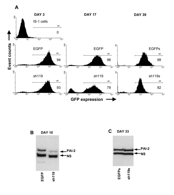 Long-term gene silencing is not stable, despite persistent marker gene expression. In A, IS-1 cells transduced with EGFP control or sh119 vectors were analysed by flow cytometry 3 and 17 days after transduction, and compared to non-transduced cells. EGFP expressing cells, from both transduced cell populations, were selected by cell sorting and named EGFPs and sh119s. 39 days after transduction, these cells were analysed for EGFP expression. Percentage EGFP positive cells, assessed by the M1 gating shown, are given in each histogram. In B, PAI-2 expression in EGFP and sh119 vector-transduced cell lysates were analysed by immunoblotting, 10 days after transduction. C is the same PAI-2 immunoblot as B, performed using EGFPs and sh119s cell lysates, 33 days after transduction.