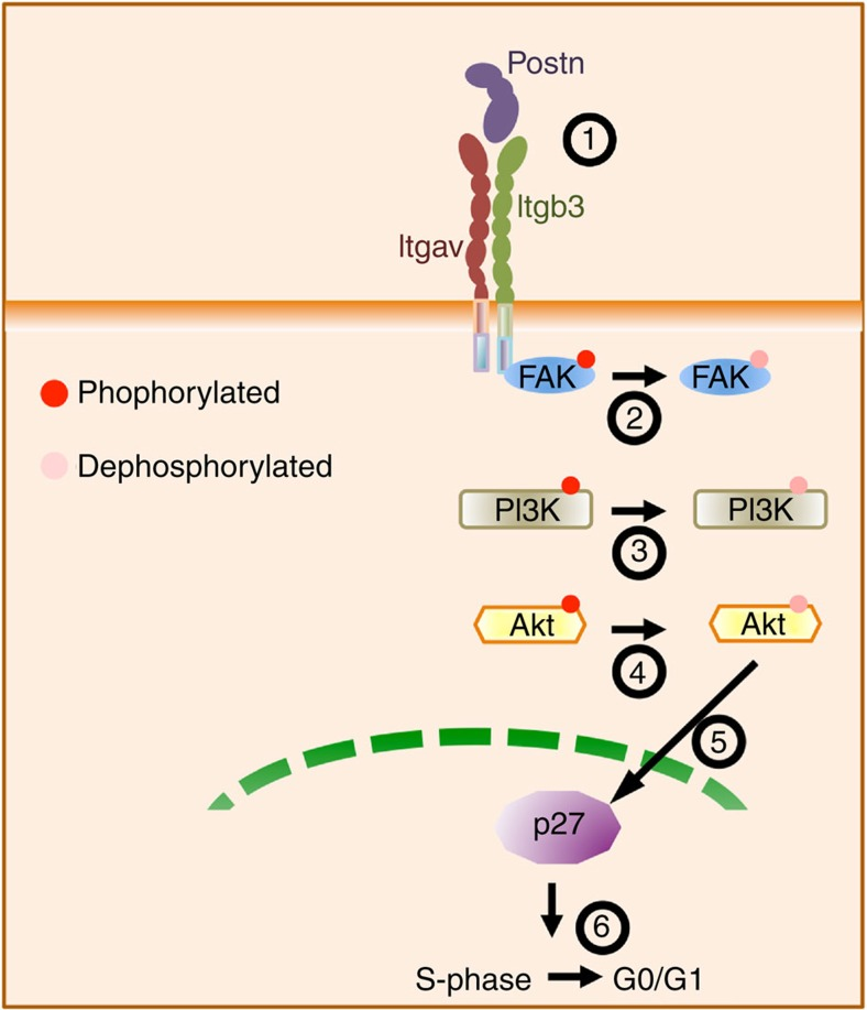 Schematic representation of the signalling events involved. Postn binding to its receptor Itgavb3 leads to dephosphorylation of FAK inhibiting PI3K/Akt pathways that regulates the expression and activity of p27Kip1. This pathway maintains the HSCs in quiescent state.
