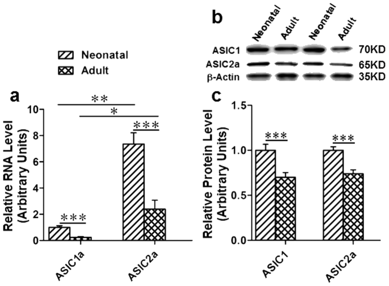 Expression of ASIC1a and ASIC2a in the medulla of adult and neonatal SD rat. (a) RNA levels of ASIC1a and ASIC2a were measured by real-time qualitative PCR. RNA levels of ASIC1a and ASIC2a were significantly decreased in adult rats as compared to their neonatal rats. The RNA expression levels of ASIC2a is higher than ASIC1a. RNA level of ASIC1a of neonatal rats was set as 1.0, all others were normalized to the ASIC1a of neonatal rats. * p