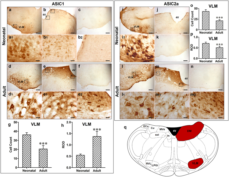 The distribution of ASIC1 and ASIC2a in the medulla of neonatal and adult rats. (a) and ( b) ASIC1 positive cells in the VLM and DM of medulla in neonatal rats, respectively; ( a1 ) and ( b1 and b2 ) Representative high power visual field of area in ( a ) and ( b ), respectively. ( c ) Negative control. ( d ) and (e) ASIC1 positive cells in the VLM and DM of medulla in adult rats, respectively; ( d1 ) and ( e1 and e2 ) Representative high power visual field of area in ( d ) and ( e ), respectively. ( f ) Absorption control, and antibody was pre-absorbed by ASIC1. ( g ) Number of ASIC1 positive cells was decreased in adult rats compared to neonatal rats (*** p