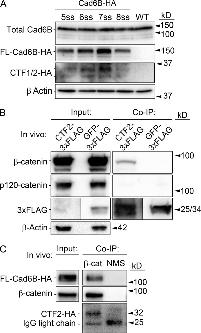 Cad6B CTF2s are generated before and throughout cranial neural crest EMT and remain associated with β-catenin. (A) Cad6B is subjected to γ-secretase–mediated proteolysis before, and during, EMT. Premigratory neural crest cells were electroporated at 2–3ss, and cranial neural folds were collected at specific stages for HA immunoblot analysis. (B) CTF2 physically associates with β-catenin, but not p120-catenin, in vivo. Embryo midbrains were electroporated at 4ss and incubated beyond the initiation of EMT. Dorsal neural tubes containing CTF2-3xFLAG– or GFP-3xFLAG–expressing neural crest cells were subjected to coimmunoprecipitation (co-IP) and immunoblotting. (C) HA-tagged CTF2s created via full-length Cad6B-HA proteolysis remain bound to β-catenin in cranial neural crest cells in vivo. Embryos were dorsal/ventrally electroporated at 4ss, and dorsal neural tubes were collected at 8ss. Normal mouse serum (NMS) immunoprecipitation with Cad6B-HA lysate served as a negative control. WT, wild type.