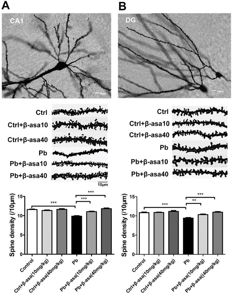 Effects of β-asarone on dendritic spine density in Pb-exposed developmental rats. (A) CA1 area; (B) DG area. The top: Representative Golgi-Cox staining of dendritic arborization and dendritic spine density. The middle: Representative dendritic shaft with spines of hippocampal neurons. Scale bar = 10μm. The bottom: Histogram reports the quantification of spine density (10μm). (** P