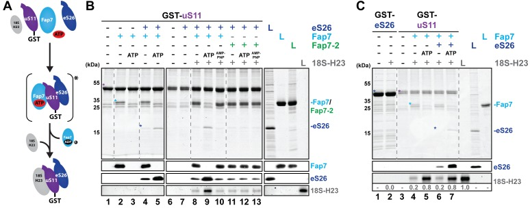Fap7 ATPase activity organizes and recruits the uS11:eS26 subcomplex to helix 23 of 18S rRNA. ( A ) Schematic for ATP-dependent loading of uS11:eS26 onto helix 23 of 18S rRNA by Fap7. Asterisk indicates a potential intermediate Fap7-ATP:uS11:eS26 complex. ( B ) Recombinant GST-uS11 was immobilized on Glutathione Sepharose beads before incubation with Fap7 or Fap7-2, eS26, ATP or non-hydrolysable ATP analog AMP-PNP and 18S helix 23 rRNA. ( C ) Recombinant GST-eS26 was immobilized on Glutathione Sepharose beads before incubation with 18S helix 23 rRNA. After washing away unbound proteins and RNA, beads were eluted and analyzed by SDS-PAGE followed by Coomassie Blue staining and Western blotting. For analysis of RNA, samples were Phenol-extracted and separated by denaturing PAGE followed by GelRed staining. RNA was quantified with respect to the input. L = 10% input. GST-baits and pulled-down proteins are indicated with asterisks. DOI: http://dx.doi.org/10.7554/eLife.21755.008