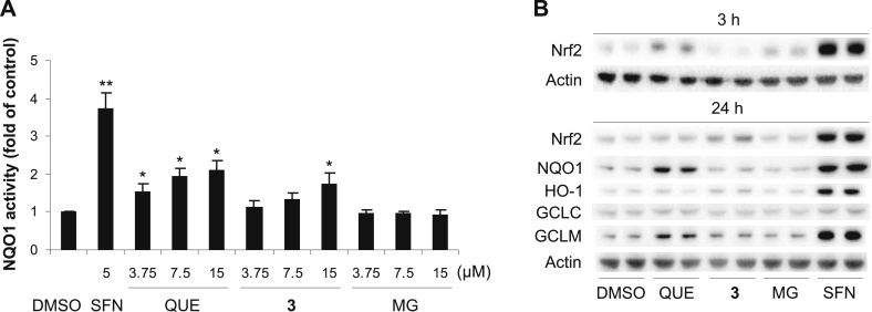 7- O -Galloylquercetin ( 3 ) induces NQO1 activity and Nrf2 accumulation in Hepa1c1c7 cells. (A) Cells were treated for 48 h with 0.1% DMSO (control), 5 μM sulforaphane (SFN; positive control) or with 3.75–15 μM 3 , quercetin (QUE) or methyl gallate (MG). After treatment, the activity of NQO1 was determined using the NQO1 assay. Data are means ± SD of three experiments. * p