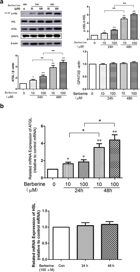 On D12, cells were treated with 10 μM and 100 μM BBR for 24 h or 48 h in serum-starved DMEM. a Proteins were separated by SDS-PAGE and immunoblotted for p-HSL (Ser 565), HSL, ATGL, GPAT3 and β-actin. The values of p-HSL were quantified using densitometry and normalized with HSL, while those of ATGL and GPAT3 were quantified by densitometry and normalized with β-actin. Representative Western blot results are shown. b Total RNA was extracted from differentiated cells treated with 10 μM and 100 μM BBR for 24 h or 48 h in serum-free DMEM. mRNA levels of ATGL and HSL were determined by real-time PCR and normalized with β-actin. Values are reported as the fold-change relative to the control group. The data are from 3 independent experiments and are presented as the mean ± SD. * p