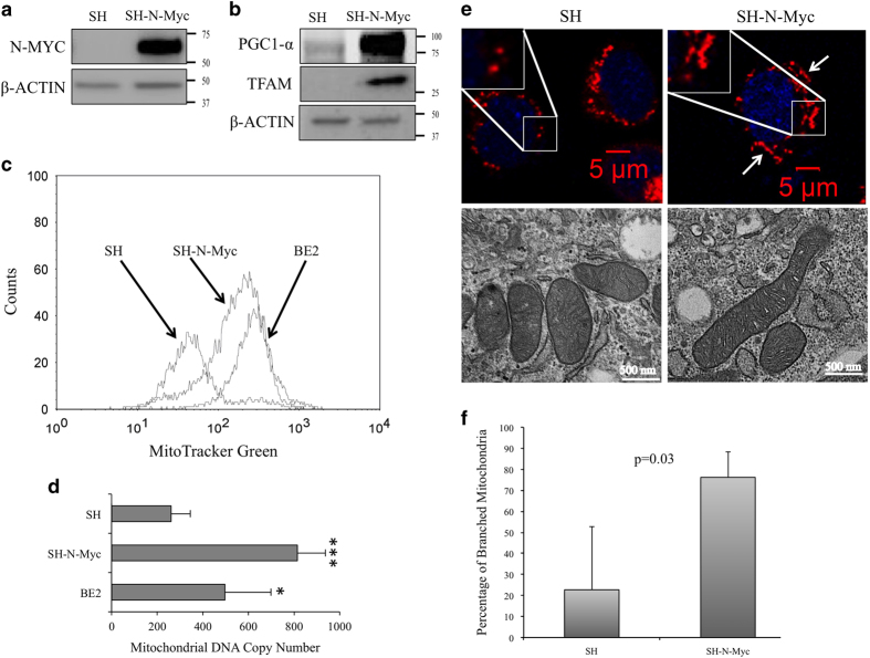 N-Myc overexpression increased mitochondrial biogenesis. ( a ) Whole cell lysates (WCL) from SH and SH-N-Myc cells were collected and used for western analysis with N-Myc antibodies that showed N-Myc was highly overexpressed in our model. ( b ) WCL were used to measure expression of the global mitochondrial regulators PGC1-a and TFAM. Both are upregulated in SH-N-Myc. ( c ) Cells at mid-logarithmic phase were stained with MitoTracker Green and measured by flow cytometry. A representative curve is shown. ( d ) A qPCR-based assay was used to measure mitochondrial <t>DNA</t> copy number using genomic DNA content as the control. Four separate experiments were performed with each cell line being measured at least in triplicate each time. Error bars show standard error of the experiments. P values: * P