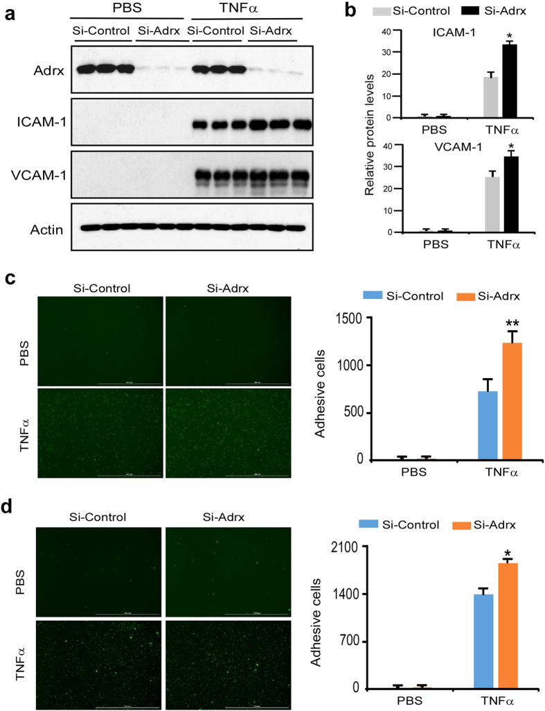 Adrx Knockdown augmented TNFα-induced expression of ICAM-1 and VCAM-1, and monocyte adherence to HUVEC. ( a) HUVECs were transiently transfected with short interfering RNA targeting on Adrx (si-Adrx) or non-specific short interfering RNA (si-Control) by <t>electroporation</t> (Amaxa). Transfected cells were quiescent for 24 hours and then treated with or without TNFα for 8 hours. Expression of Adrx, ICAM-1 and VCAM-1 were detected using Western blot analysis. ( b) Band intensity was quantified by Gel-Pro Analyzer software and normalized protein levels of ICAM-1 and VCAM-1 are shown in Fig. 4b ; n = 3, *P