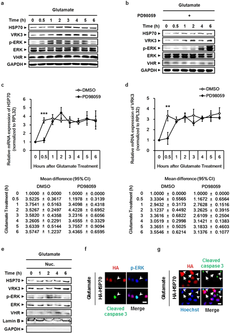 Glutamate-induced ERK activation stimulates the expression of both HSP70 and VRK3 to suppress its sustained activity that causes cell death. ( a ) The protein levels of HSP70 and VRK3 were positively correlated with ERK activity. ( b ) Blocking ERK phosphorylation using PD98059, a specific MEK/ERK inhibitor, delayed an increase in both HSP70 and VRK3 protein upon glutamate exposure. ( c , d ) Inhibition of ERK activation delayed <t>mRNA</t> expression of HSP70 ( c ) and VRK3 ( d ) following glutamate treatment. The mRNA levels of endogenous genes were detected by quantitative real-time <t>PCR.</t> Values are normalized to RPL32 and shown as mean ± s.d., n = 3. Student's t-tests, **P