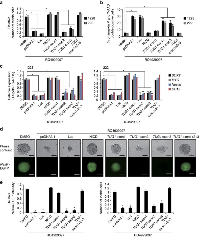 Analysis of TUG1 transcripts for maintenance of stemness features of GSCs. ( a – c ) Effects of TUG1 overexpression on cell viability ( a ), apoptosis ( b ) and expression of the stemness-associated genes ( SOX2 , MYC , Nestin and CD15 ) ( c ) in GSCs treated with γ-secretase inhibitor (RO4929097). Plasmid vectors expressing each TUG1 exon (1–2,132, 2,133–2,910 and 2,911–7,115 nucleotides corresponding to exon 1, exon 2 and exon 3, respectively) were transfected. Viable cells were assessed by trypan blue staining ( a ). The number of apoptotic cells were counted by FACS analysis with 7-AAD and PE Annexin V staining ( b ). Expression levels of stemness-associated genes were analysed by qRT-PCR. y -axis indicates relative expression level compared to that seen in DMSO-treated cells ( c ). Values are indicated relative to abundance in DMSO-treated cells. * P