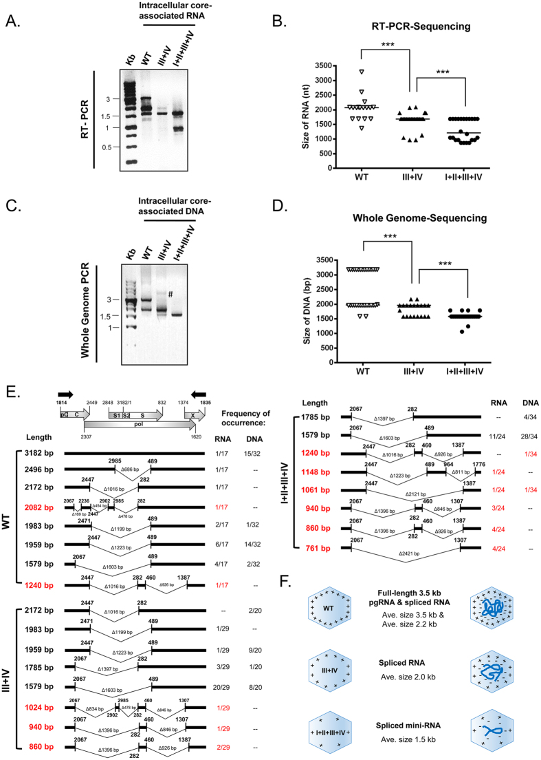 Arginine-deficient HBc mutants preferentially encapsidated spliced viral RNA and DNA. (A) Core particle -associated viral RNAs of HBc ARD mutants were analyzed by RT-PCR and agarose gel with ethidium bromide staining. The positions of the RT-PCR primers are shown as black arrows in Fig. 2E. Compared to WT, mutant ARD-III + IV encapsidated shorter-sized viral RNAs, while mutant ARD-I + II + III + IV encapsidated the shortest RNA species. (B) The diagram summarized the statistics of RT-PCR sequencing results of core particle -associated viral RNAs of WT, mutants ARD-III + IV and I + II + III + IV. Each symbol represents one independently isolated clone from E. coli . The horizontal line represents the medium size of encapsidated RNA species. ***p