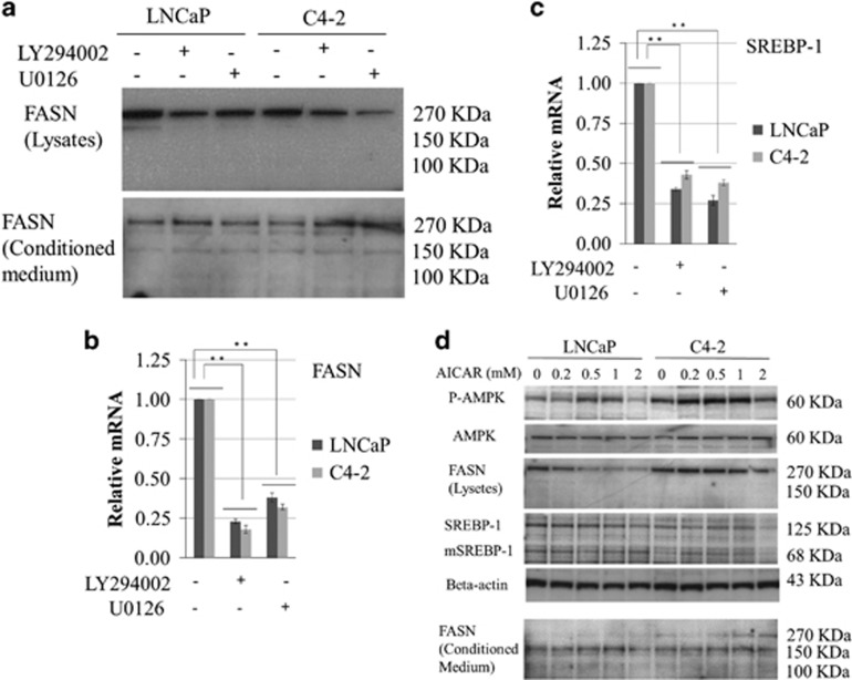 Effect of PI3K (LY294002) and MAPK (U0126) inhibitors and an AMPK activator (AICAR) on FASN expression in LNCaP and C4-2 cells. LNCaP and C4-2 cells were cultured in Dulbecco's modified Eagle's medium (DMEM) containing 10% fetal bovine serum (FBS) with and without 5 μ M LY294002, 0.5 μ M U0126 ( a – c ), or AICAR ( d ) at the indicated concentration for 24 h. ( a ) An equal amount of protein from the cells and conditioned medium was subjected to anti-human-FASN antibody. Total RNA was extracted from the cells and FASN ( b ) and SREBP-1 ( c ) mRNA levels were measured by quantitative reverse transcription–PCR, and compared with those of untreated cells. ** P