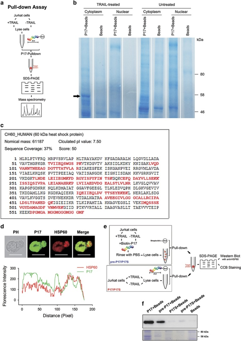 Identification of HSP60 as the target of P17. ( a ) Protocols used for pull-down-assay-based analysis of binder of P17. ( b ) Biotin-P17 labeled streptavidin magnetic beads were used for pull-down assay from TRAIL-treated Jurkat cell extracts. Bound proteins were separated by SDS–PAGE. Absent from TRAIL-untreated and bead-control samples, a major band at 58 kDa was excised for mass spectrometry and identified as HSP60. ( c ) Mass spectrometry analysis identified peptides in HSP60 with 37% sequence coverage. Matched amino acids were shown in red. ( d ) Colocalization of FITC-P17 and anti-HSP60 (Alexa Fluor 594-conjugated) in TRAIL-treated Jurkat cells (Scale bars: 10 μm) observed by confocal microscopy (upper) and analyzed by Image-Pro Plus (bottom). ( e ) The schematic illustration for pull-down and western blot analysis. ( f ) Detection of HSP60 in pull-down samples by western blot and coomassie brilliant blue staining.