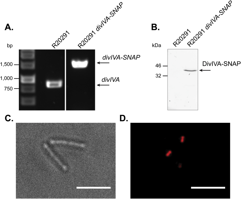 Precise manipulation of the R20291 genome accelerated by the use of optimised conjugation. (A) 0.8% Agarose gel showing PCR fragments amplified using primers flanking the SNAP-tag coding sequence insertion site in the chromosomal divIVA gene. The increase of approximately 550bp from 885 bp (R20291) to 1443 bp (R20291 divIVA-SNAP) suggests the correct insertion of the SNAP-tag coding sequence. (B) 12% SDS-PAGE gel imaged using a fluorescence imager, showing resolved lysates from SNAP TMR-star treated R20291 and R20291 divIVA-SNAP . A band at approximately 40 kDa in the mutant corresponds to the addition of a SNAP-tag on DivIVA. (C) Brightfield and (D) fluorescence microscopy of exponentially growing R20291 divIVA-SNAP stained with 250 nM SNAP TMR-star for 30 min, showing mostly septal and some polar localisation of fluorescence. This demonstrates successful modification of the R20291 genome. Scale bar represents 5 μm.