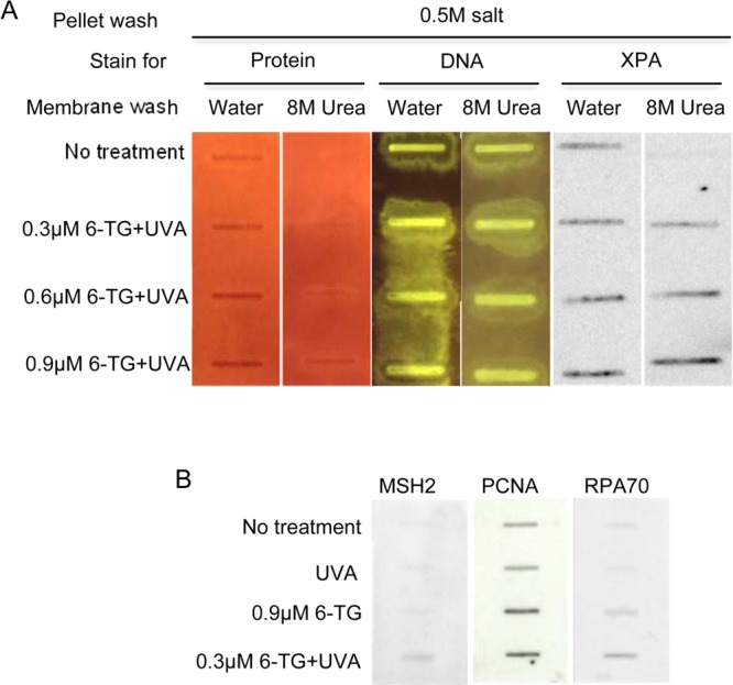 HyBond-N + membrane binding of DNA cross-linked proteins. (A) Sheared, salt-washed chromatin from CCRF-CEM cells that were untreated or treated with 6-TG and 50 kJ/m 2 UVA as indicated was applied to HyBond-N + membranes. Membranes were washed extensively with water and 8 M urea as indicated. Membrane-associated protein and DNA was visualized by staining with Sypro Ruby and SYBR Green. XPA protein was detected by immunostaining. (B) DNA-bound protein. Sheared chromatin from untreated CCRF-CEM cells or cells treated with UVA, 6-TG or 6-TG+UVA was applied to HyBond-N + membranes. Following extensive washing with water and 8 M urea, membranes were probed with antibodies as indicated.