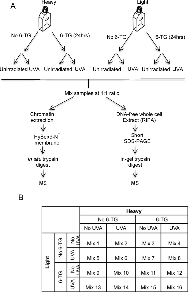 Outline of SILAC analysis. (A) CCRF-CEM cells were labeled with heavy or light arginine and lysine isotopes. Half the cells were treated with 0.9 μM 6-TG for 24 h and the other half left untreated. Half of each of these two cultures was then irradiated with 50 kJ/m 2 UVA. The remaining four cultures were not irradiated. Cells were mixed in 1:1 ratios for preparation of chromatin or whole cell extracts (RIPA) as indicated. Chromatin extracts were applied to a HyBond-N + membrane that was water and 8 M urea washed prior to in situ trypsin digestion and MS analysis. RIPA extracts were subjected to short SDS-PAGE and in-gel trypsin digestion prior to MS analysis. (B) The 16 mixes generated from different combinations of treatments.
