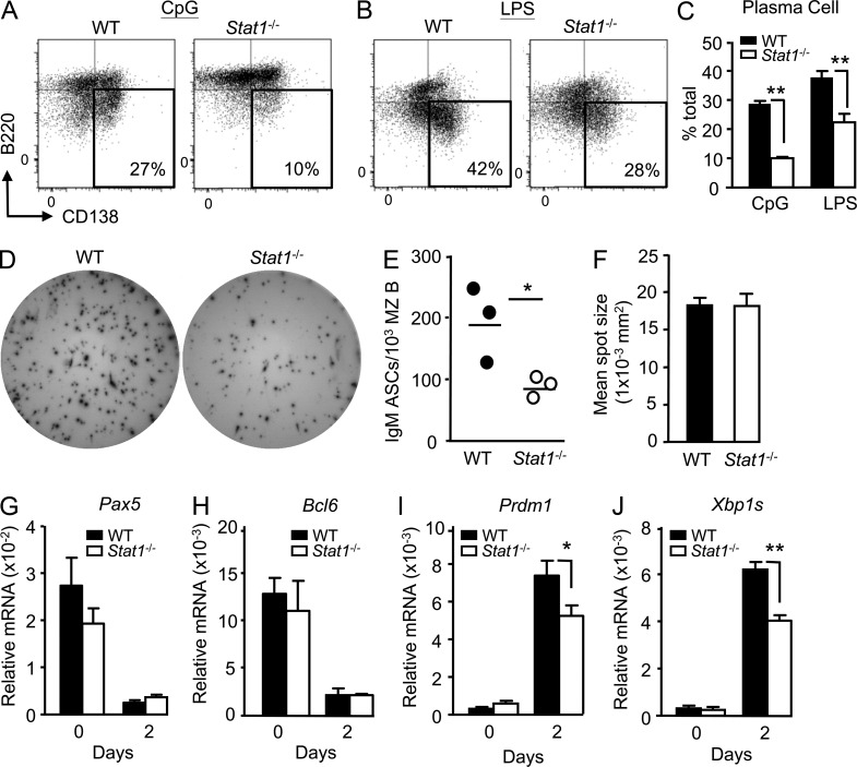 Impaired plasma cell differentiation in Stat1 −/− MZ B cells in response to TLR stimulation. MZ B cells of WT and Stat1 −/− mice were stimulated with 1 µg/ml CpG (A) and 2 µg/ml LPS (B), respectively, for 2 d, stained with antibodies to B220 and CD138, and analyzed by flow cytometry. One experiment out of three is shown. (C) The mean percentages of plasma cell (B220 − CD138 + ) after stimulation are shown ( n = 3). Results represent three experiments. MZ B cells were stimulated with 1 µg/ml CpG for 3 d, and then subjected to ELISPOT assay. (D) The spots of ASCs are shown. One experiment out of three is shown. The frequencies of ASCs per 10 3 MZ B cells (E) and mean area of each spot (F) in the ELISPOT assay is shown ( n = 3). Results represent three experiments. Same as in B, except mRNA was prepared from the cells before and after stimulation with LPS and subjected to RT-QPCR using primers to Pax5 (G), Bcl6 (H), Prdm1 (I), and Xbp1s (J). All genes were normalized to Rpl7 ( n = 4). Results represent two experiments. All values are shown as the means ± SD. *, P