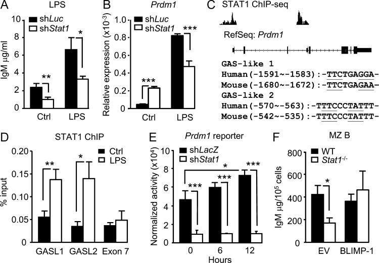 STAT1 binds to Prdm1 promoter and regulates Prdm1 expression and IgM production in MZ B cells in response to TLR stimulation. (A) CH12F3 cells were subjected to lentivirus-based knockdown of luciferase or Stat1 , and then stimulated with or without LPS for 4 d. IgM in the culture supernatant was measured by ELISA ( n = 3). Results represent three experiments. (B) Same as in A, except total RNA from the cells treated for 2 d were subjected to RT-QPCR using primers to Prdm1 ( n = 6). Results represent three experiments. (C) ChIP-seq data ( Robertson et al., 2007 ) were analyzed for STAT1 binding regions in human Prdm1 loci. The corresponding exons and introns of Prdm1 are shown. Comparison of conserved GAS-like 1 (GASL1) and GAS-like 2 (GASL2) in human and mouse Prdm1 promoters are shown. (D) CH12F3 cells were stimulated with 5 µg/ml LPS for 6 h, and ChIP was performed using anti-STAT1 antibody. Relative abundance of GASL1 (A), GASL2 (B), and exon 7 are shown ( n = 6). Results represent three experiments. (E) Reporter plasmid containing the promoter region of Prdm1 (–2,052 to +207 bp) was cotransfected with pCMV-DsRed, an internal control plasmid, into sh LacZ - or sh Stat1 -treated CH12F3 cells for 24 h, followed by stimulation with 5 µg/ml LPS for the indicated times before being harvested and subjected to reporter activity assay. Reporter activity was normalized to the percentage of DsRed-positive cells ( n = 3). Results represent three experiments. (F) MZ B cells from WT or Stat1 −/− mice were stimulated with 2 µg/ml LPS for 24 h and transduced with recombinant retrovirus pGC-YFP or pGC-Blimp-1-YFP for 2 d. The YFP + cells were sorted out and incubated for another 24 h before measuring IgM production by ELISA ( n = 3). Results represent three experiments. All values are shown as the means ± SD *, P