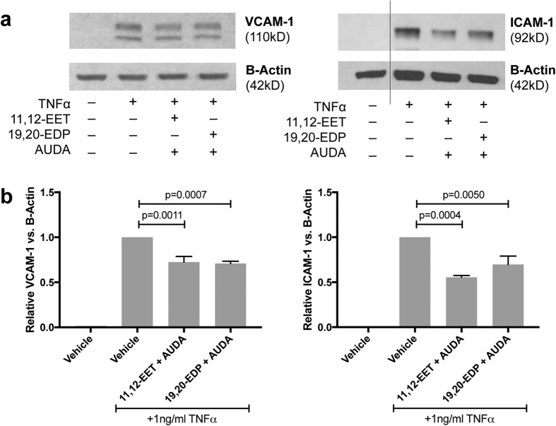 The effect of 11,12-EET or 19,20-EDP plus sEH inhibition on TNFα-induced VCAM-1 and ICAM-1 protein levels. ( a ) Representative blots from HRMEC treated with TNFα in the presence or absence of 11,12-EET (0.5 μM) or 19,20-EDP (0.5 μM) with AUDA (10 μM); and ( b ) quantification of 3 individual blots. Each bar represents the mean ± SEM (n = 3).