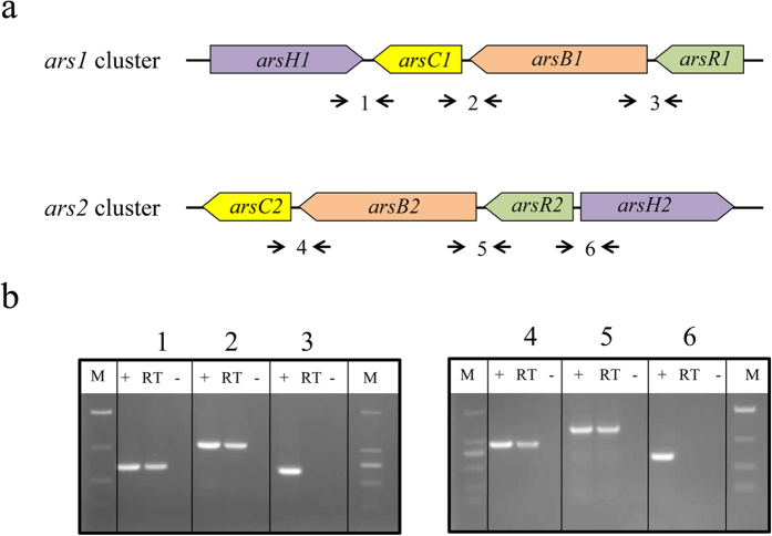 Analysis of co-transcript unit in the ars clusters of Pantoea sp. IMH by RT-PCR. ( a ) Map position of ars genes and the primers for RT-PCR analysis. Primers used and amplified products (numbered) are given below the schematic representation of the genes. (b) Result of RT-PCR reactions with RNA from IMH grown in 1 mM As(V) condition. The numbering on the top of the gels corresponds to the product numbers drawn schematically in the outline given above. M, DNA mark; (+), positive control in which genomic DNA was used as template in the RT-PCR; RT, standard RT-PCR reaction; (−), negative control in which no reverse transcriptase was added to the RT reaction.
