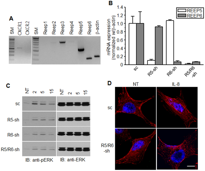 CXCR1 signaling in A549 cell lines was decreased by the depletion of REEP5 and REEP6. ( A ) Using RNAs from A549 cells, RT-PCR was performed with specific CXCR1, CXCR2, and REEP1–6 primers. The PCR products were resolved on a 1% agarose gel. SM, size markers (1 Kb Plus DNA ladder from Invitrogen). ( B ) qRT-PCR was performed for REEP5 and REEP6 mRNA in A549 cells infected with lentivirus containing shRNAs. Relative mRNA levels of REEP5 and REEP6 were normalized with β-actin mRNA and are shown as mean ± S.E (n = 4). The bar graphs are presented by relative value to sc control. ( C ) A549 cells containing shRNAs were treated with IL-8 for the indicated times (min) and analyzed by western blotting with anti-pERK1/2 antibodies. NT, not treated. ( D ) A549 cells containing shRNAs were treated with IL-8 for 20 min, fixed, and stained with phalloidin-TRITC. The scale bar denotes 10 μm. The results are from at least three independent experiments.