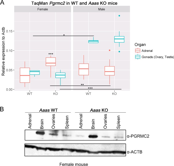 Pgrmc2 has a sexual dimorphic role in mice and ALADIN KO in female mice leads to an alteration in PGRMC2. (A) Total RNA was isolated from dissected adrenals and gonads of WT and Aaas KO mice. *P