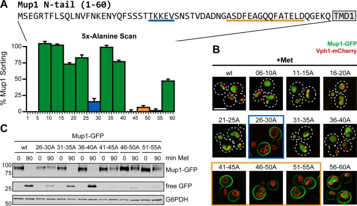 Two regions in the Mup1 N-terminal cytosolic tail are critical for endocytic down-regulation. (A) Top, sequence of the cytosolic N-tail (residues 1–60) of the yeast methionine transporter Mup1. The two regions critical for endocytosis are underlined. Bottom, a collection of GFP-tagged Mup1 mutants was stably integrated into yeast cells expressing Vph1-mCherry as vacuolar marker. In each mutant, five consecutive residues of the N-tail were mutated to alanines. Cells were grown to mid log phase in synthetic medium at 30°C, stimulated with 20 μg/ml methionine for 90 min, and analyzed by fluorescence microscopy. Average Mup1 sorting was calculated as the ratio of vacuolar GFP to total cell GFP and normalized to wild type before (0% sorting) and after methionine stimulation (100% sorting). The numbers below each bar of the graph correspond to the position of the substituted residues within Mup1. Error bars indicate SD between fields. (B) Representative images from cells quantified in A. Cells expressing GFP-tagged Mup1 or the indicated Mup1 alanine substitutions were grown to mid log phase in synthetic medium at 30°C and subjected to fluorescence microscopy after treatment with methionine for 90 min. A complete set of images is shown in Supplemental Figure S2. Dashed lines indicate cell outlines. Scale bar, 2.5 μm; vacuolar marker: Vph1-mCherry. (C) Yeast cells expressing GFP-tagged Mup1 or the indicated Mup1 alanine substitutions were grown to mid log phase in synthetic medium at 30°C and stimulated with 20 μg/ml methionine. Equal volumes of culture were harvested at the indicated time points after stimulation, and total cell lysates were prepared and analyzed by SDS–PAGE and immunoblot. G6PDH serves as a control for equal loading.