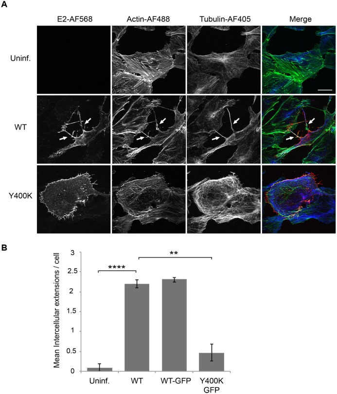 Alphavirus infection induces actin-positive intercellular extensions. (A) Vero cells were mock-transfected (Uninf.) or transfected with WT SINV or Y400K RNA, incubated at 37°C for 8 h, and fixed. Cells were permeabilized and stained with antibodies to detect the viral E2 envelope protein (red) and α-tubulin (blue), and with phalloidin to detect F-actin (green). Cells were imaged by confocal microscopy. Images from one optical section are shown and are representative of three independent experiments, which are quantitated in (B). Arrows indicate two examples of intercellular extensions; note that each is positive for all three markers and is in contact with a neighboring cell. Bar = 20 μm. (B) The number of intercellular extensions per infected cell (n = 10) was quantitated based on their positive staining for E2, actin and tubulin and their contact with a neighboring cell (see methods ). Graph in B shows the mean and standard deviation of three independent experiments, with 10 cells quantitated in each sample including the uninfected cells. ** P
