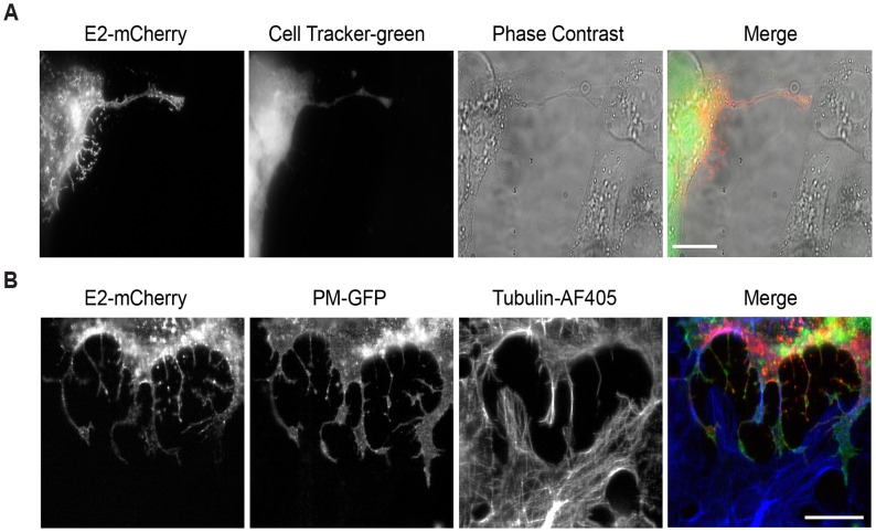 Intercellular extensions do not transfer cytosolic or PM markers. (A) Vero cells were transfected with SINV WT-mCherry RNA (t = 0) and incubated for 6.5 h at 37°C. Cells were labeled for 30 min with CellTracker Green and then uninfected Vero cells were added and the co-cultures were incubated for 2 h at 37°C. Cells were then fixed and imaged by epifluorescence microscopy. Images are representative of three independent experiments, evaluating 10 cell pairs/experiment. Bar = 20 μm. (B) Vero cells expressing the PM-GFP marker were transfected with SINV WT-mCherry RNA and incubated at 37°C for 7 h. Uninfected Vero cells were then added and the co-cultures were incubated for 2 h at 37°C. Cells were fixed, stained with antibodies to detect α-tubulin, and imaged by confocal microscopy. Images from one optical section are shown, and are representative of three independent experiments, 10 cell pairs/experiment. Bar = 20 μm.