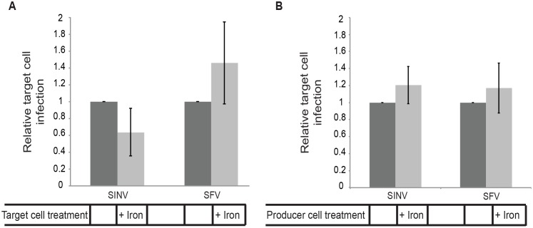 SINV cell-cell transmission is independent of NRAMP in target or producer cells. (A) Down-regulation of target cell NRAMP. Vero cells were transfected with WT SINV or SFV RNA and incubated at 37°C for 5 h (producer cells). Target Vero cells stably expressing the PM-GFP marker were cultured for 3 days in control media or media containing 200 μg/ml ammonium iron citrate to down-regulate the SINV receptor NRAMP2, and then plated onto the infected cells at an approximate ratio of 1:1 and the co-cultures incubated for 19 h at 37°C in the continued presence of iron as indicated. The % infected target cells was quantitated by staining with antibody to the SINV or SFV E2 protein. The graph represents the mean and standard deviation of three independent experiments, with infection normalized to that of control target cells (which was set to 1). (B) Down-regulation of producer cell NRAMP. Vero cells were pretreated as in Fig 6A to downregulate NRAMP2, transfected with WT SINV or SFV RNA, and incubated at 37°C for 5 h (producer cells). Uninfected Vero cells stably expressing PM-GFP (target cells) were then plated onto the infected cells, and the co-cultures were incubated for 19 h at 37°C in the continued presence of iron as indicated. Infection of target cells was quantitated as in Fig 6A. The graphs in A and B represent the mean and standard deviation of three independent experiments.