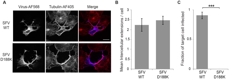 Production of fusion-active virus is required for cell-to-cell transmission. (A) Vero cells were transfected with SFV WT or D188K mutant RNA, incubated at 37°C and fixed at 8 hours post transfection. Cells were permeabilized and immunostained to detect the virus E2 glycoprotein or α-tubulin, and imaged by confocal microscopy. Images from one optical section are shown and are representative of the images from three independent experiments. Bar = 20 μm. (B) The number of intercellular extensions per infected cell (n = 10) was quantitated based on their positive staining for E2 and tubulin and their contact with a neighboring cell. (C) Vero cells were transfected with WT or D188K SFV RNA and incubated at 37°C for 2 h (producer cells). At 4 hours post transfection Vero target cells stably expressing the PM-GFP marker were plated onto the producer cells at an approximate ratio of 1:1 and the co-cultures incubated at 37°C overnight. Cells were then fixed, permeabilized, and immunostained to detect the viral glycoproteins. Epifluorescence microscopy was used to acquire 5 images using the 20X objective. The number of infected PM-GFP-positive target cells was quantitated and expressed as a fraction of the total number of target cells. The graphs in B and C represent the mean and standard deviation of three independent experiments. *** P