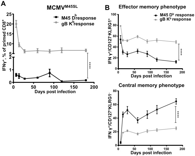 Gene expression context does not define the quality of CD8 responses to MHC-I restricted epitopes of MCMV. 129/Sv mice were infected intraperitoneally (i.p.) with 2x10 5 PFU of MCMV M45SL . Blood leukocytes were stimulated with the SSIEFARL or the HGIRNASFI peptide at 7, 14, 28, 60, 90, 120, 180 dpi. Cells were surface-stained for CD3, CD4, CD8, CD11a, CD44, KLRG1, CD127 and intracellularly for IFNγ expression and analyzed by flow cytometry. ( A ) Cells responding to the SSIEFARL (gB K b response) or the HGIRNASFI (M45D b response) peptide. ( B ) Upper graph—epitope specific cells with the EM phenotype (CD127 - KLRG1 + ). Lower graph—epitope specific cells with the CM phenotype (CD127 + KLRG1 - ). The experiment was performed three times independently, at 5 mice per group in each experiment, and grouped averages +/- SEM from all three experiments are shown. Significance on day 180 p.i. was assessed by a Mann—Whitney U test. **** p