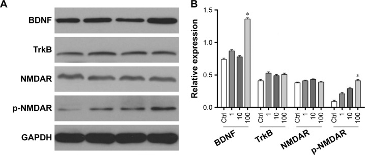The expression of BDNF and TrkB in the four groups by the Western blot: ( A ) the electrophoretogram of Western blot; ( B ) the bar charts of the expression of BDNF and TrkB. Note: *Indicates the significance compared to the control group. Abbreviations: BDNF, brain-derived neurotrophic factor; Ctrl, control group; <t>GAPDH,</t> glyceraldehyde 3-phosphate dehydrogenase; NMDAR, N-methyl-D-aspartate receptor.