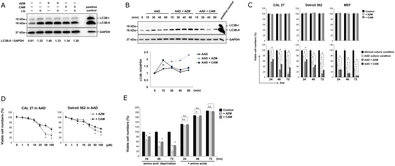 Macrolides induce cell death in amino acid-depleted culture by blocking autophagy flux. (A) Immunoblotting with LC3B and p62 Abs from the cell lysates of CAL 27 cells cultured in the complete culture medium with/without AZM, CAM (50 μM) in the presence or absence of lysosomal inhibitors (LIs) E-64d (10 μg/mL) and pepstatin A (10 μg/mL) for 24 hrs. Immunoblotting with anti-GAPDH mAb was used as an internal control. Cell lysate derived from PANC-1 cells treated with AZM for 24 hrs was used as a positive control [ 13 ]. (B) (upper panel) Immunoblotting of LC3 from the cell lysates of CAL 27 cells cultured in the complete culture medium or AAD culture medium containing 10% FBS with or without AZM (50 μM) and CAM (50 μM) for up to 60 min. Immunoblotting with anti-GAPDH mAb was used as an internal control. Cell lysate derived from PANC-1 cells treated with AZM (50 μM) for 24 hrs was used as a positive control [ 13 ]. (lower panel) The ratios of LC3B-II/GAPDH were plotted. (C) Cell growth inhibition of CAL 27, Detroit 562, and MEF cells treated with AZM (50 μM) and CAM (50 μM) in the complete culture medium (upper panel) and AAD culture medium (lower panel) for 24, 48, and 72 hrs. Viable cell numbers are expressed as percentage to viable cells cultured in the complete culture medium at each indicated culture period. Data are presented as means ± SEM. *p