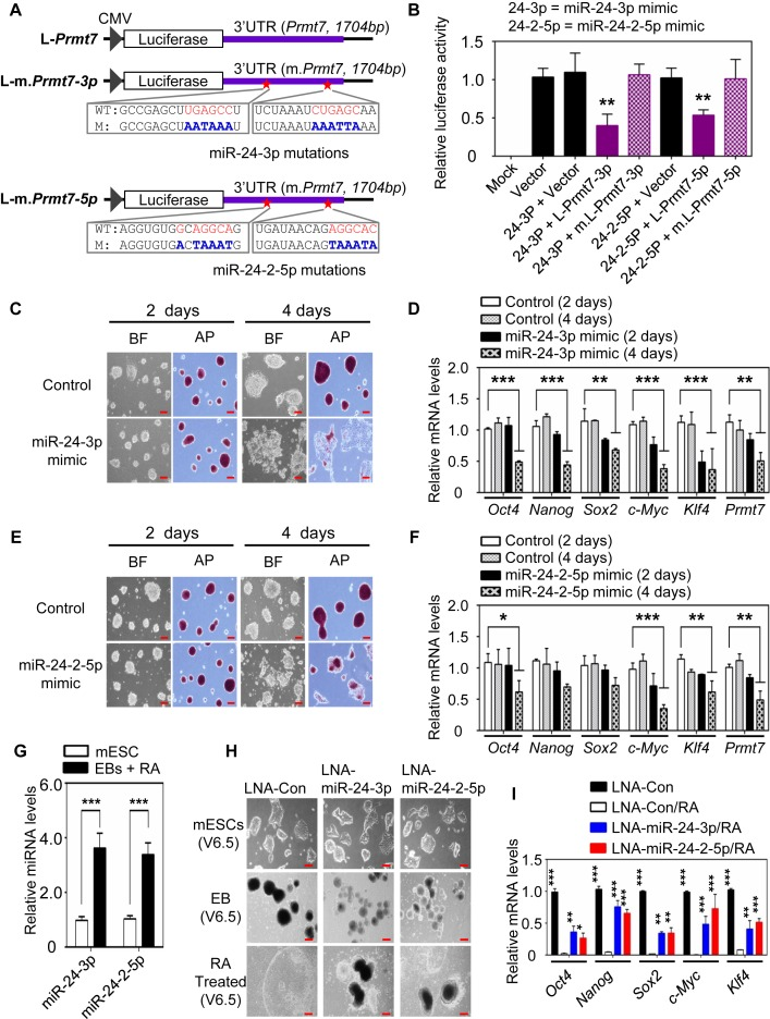 miR-24-3p and miR-24-2-5p target Prmt7 3′UTR and impede the stemness of mESCs. ( A ) Schematic representation of luciferase reporter constructs containing WT Prmt7 -3′UTR or its mutants. ( B ) Relative luciferase activities of reporter constructs containing Prmt7 -3′UTR or its mutants in HEK293T cells after transfection of miR-24-3p and miR-24-2-5p mimics. ( C and E ) Microscopic and AP staining images of V6.5 mESCs after treatment with miR-24-3p (C) or miR-24-2-5p (E) mimic. V6.5 mESCs were treated with miR-24-3p and miR-24-2-5p mimics and incubated for 2d or 4d. ( D and F ) Quantitative analysis of Oct4, Nanog, Sox2, Klf4, c-Myc and Prmt7 mRNA levels in V6.5 mESCs after treatment with miR-24-3p (D) or miR-24-2-5p (F) mimic. ( G ) Quantitative RT-PCR analysis of miR-24-3p and miR-24-2-5p levels in WT and differentiated V6.5 mESCs (EBs + RA). ( H and I ) The effect of LNA-miRNAs (a type of anti-sense microRNAs) against miR-24-3p or miR-24-2-5p on RA-induced mESC differentiation. mESCs were transfected with LNA-miRNAs (H). Oct4, Nanog, Sox2, c-Myc and Klf4 mRNA levels were measured using quantitative RT-PCR (I). In G−I, mESCs were induced to form EBs for 5 days and then treated with RA for another 5 days. Data are presented as the mean ± SD of three independent experiments. P