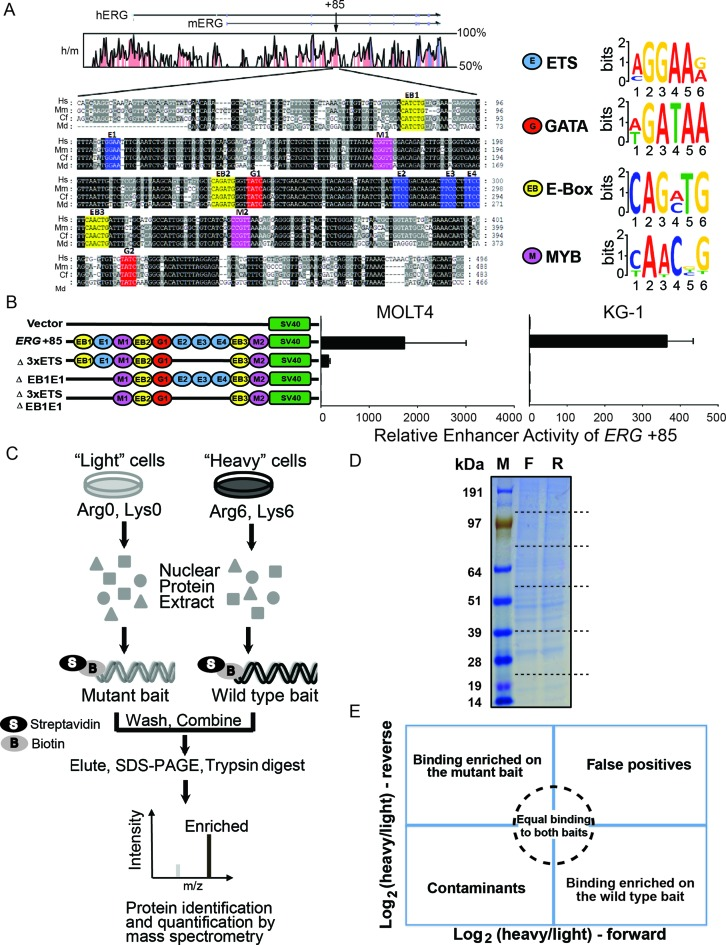 The ERG +85 stem cell enhancer and reverseChIP methodology. ( A ) Multiple sequence alignment of the highly conserved ERG +85 enhancer, with human (Hs), mouse (Mm), dog (Cf) and opossum (Md) sequences, adapted from ( 22 , 29 ), is shown. The position of the +85 enhancer is shown relative to the start of ERG for both human (hERG) and mouse (mERG), along with human and mouse conservation, at the top. The sequences highlighted in black have 100% sequence conservation while the grey regions are less conserved. Consensus motifs for different transcription factors are also indicated, including ETS (blue, E1, E2, E3 and E4), GATA (red, G1, G2), E-Box (yellow, EB1, EB2 and EB3) and MYB (magenta, M1 and M2). Predicted sequence motifs are depicted on the right. ( B ) Mutational analysis of the +85 enhancer. The schematic on the left depicts the transcription factors motifs which were present on the different +85 enhancer constructs that were tested in stable transfection assays in MOLT-4 (left) and KG-1 (right) cells. ( C ) Schematic of the reverseChIP method. Metabolically labelled ('heavy', Arginine-6 and Lysine-8) or unlabelled ('light') cells were grown and nuclear protein extracts prepared. The extracts were separately incubated with biotin-labelled wild-type or mutated DNA baits and conjugated onto streptavidin beads. The beads were then washed, combined and bound proteins were eluted. Eluates were run on a sodium dodecyl sulphate-polyacrylamide gel electrophoresis gel, the lane cut into multiple pieces and proteins digested in-gel with trypsin. Peptides were recovered and analysed by mass spectrometry (MS). ( D ) A representative gel indicating equal protein yields in the eluates from forward and reverse experiments. The lane was cut into slices (putative cut sites indicated as dotted lines). ( E ) A schematic illustrating enrichment biplots generated from parallel, order-swapped, reverseChIP experiments with the location of binders based on specificity of binding.