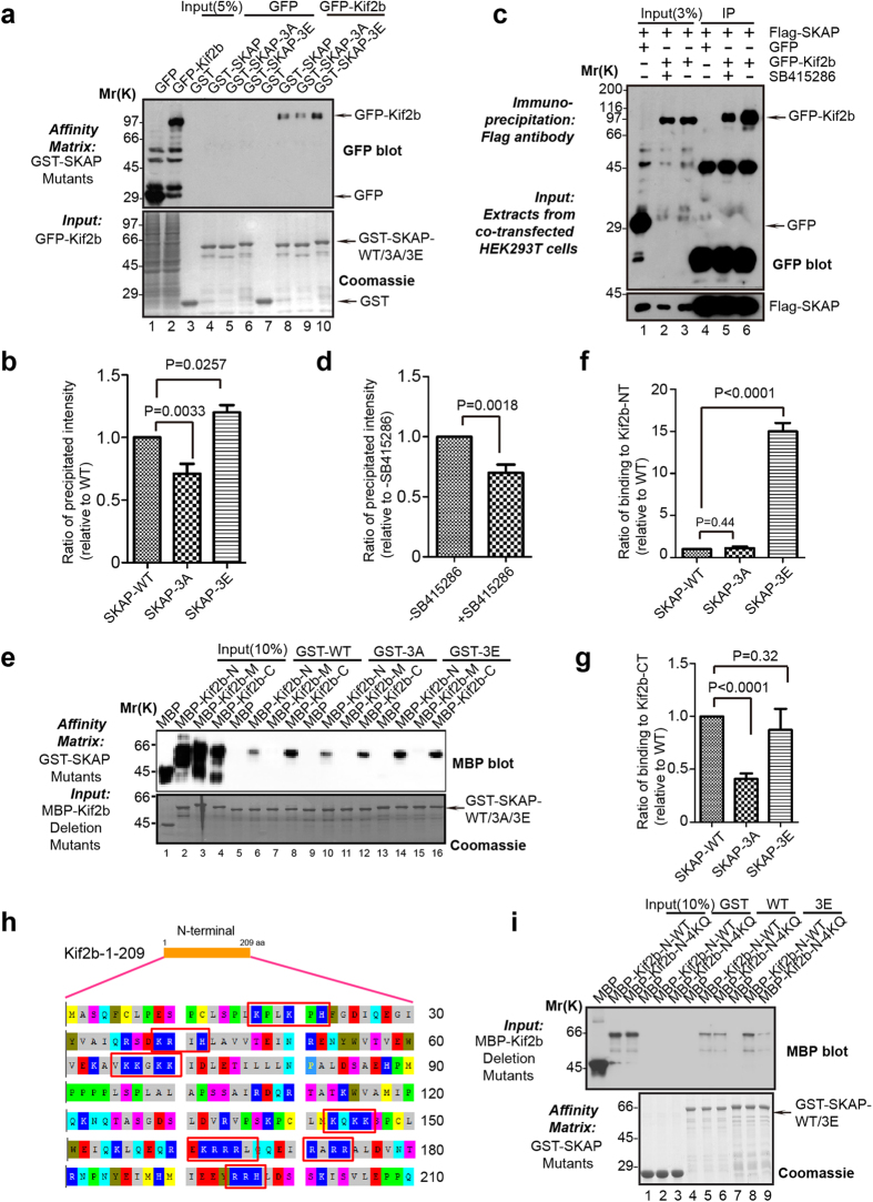 Phosphorylation of SKAP increases its binding affinity to Kif2b. ( a ) Purified GST-SKAP and SKAP mutants were used as matrices to isolate GFP-Kif2b from HEK293T cell lysates. The isolated proteins were then fractionated by SDS-PAGE followed by CBB staining (lower) and anti-GFP blot (upper). ( b ) Statistical analysis of binding efficiency in ( a ). The ordinate indicates the relative binding ratio of GFP-Kif2b to GST-SKAP and its mutants; the abscissa indicates the corresponding binding assay shown in ( a ). ( c ) Co-immunoprecipitation of exogenous SKAP and Kif2b. 36 h after transfection with FLAG-SKAP and GFP-Kif2b, the HEK293T cells were treated with SB415286 for 30 min (lane 5). The cell extracts were incubated with an anti-FLAG antibody agarose beads, and the immunoprecipitates were resolved by SDS-PAGE followed by Western blots. ( d ) Statistical analysis of binding activity in ( c ). The ordinate indicates the binding ratio of GFP-Kif2b and FLAG-SKAP; the abscissa indicates the corresponding binding assay shown in ( c ). ( e ) Purified GST-SKAP and its mutants were used as matrices to isolate purified MBP-Kif2b deletions. The isolated proteins were fractionated by SDS-PAGE followed by CBB staining (lower) and anti-MBP blot (upper). ( f – g ) Statistical analysis of binding ratio in ( e ). The ordinate indicates the binding ratio of MBP-Kif2b-NT ( f ) or MBP-Kif2b-CT ( g ) to GST-SKAP wild-type and its mutants, while the abscissa indicates the corresponding binding assay shown in ( e ). Note that there is no significant difference between wild-type SKAP and phospho-mimicking SKAP-3E ( p = 0.32) bound to Kif2b-C while binding efficiency of non-phosphorylatable SKAP-3A to Kif2b-C was significantly reduced ( p