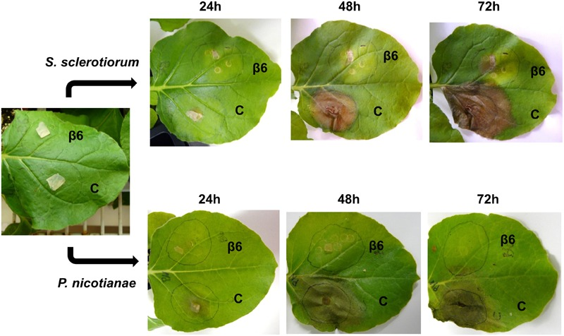 Recombinant β6-conglutin exhibits in planta anti-fungal and oomycete activity. Shown are representative images of Agrobacterium infiltrated N. benthamiana leaves expressing recombinant β6-conglutin proteins and subsequently inoculated with either S. sclerotiorum or P. nicotianae . The experiment was repeated three times with similar results. C, control agroinfiltration of the leaf area with Agrobacterium expressing GFP only; β6, agroinfiltration of the leaf area with Agrobacterium expressing GFP tagged β6-conglutin.
