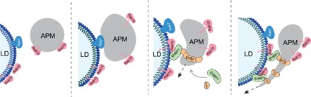 Model for the <t>Rab10-EHBP1-EHD2</t> complex in mediating the autophagic engulfment of an LD during lipophagy. Following Rab7-mediated recruitment of degradative machinery to the LD surface, Rab10 works in a complex together with EHD2 and EHBP1 to promote extension of an LC3-positive autophagic membrane along the circumference of the LD surface.