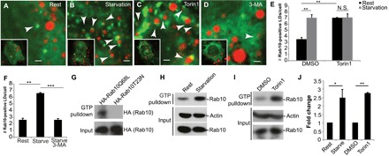 Rab10 is recruited to the LD during starvation-induced autophagy. ( A to D ) Fluorescence images of HuH-7 hepatoma cells expressing sfGFP-Rab10 under resting (A), HBSS-starved (B), Torin1-treated (C), or 3-MA–treated (D) conditions. LDs are stained with ORO (red). Rab10-positive LDs are indicated by arrowheads, and average numbers of Rab10-positive LDs per cell are quantified in ( E ) ( n = 3 independent experiments, 100 cells counted per condition). ( F ) Quantification of the effect of 3-MA treatment on resting or serum-starved HuH-7 cells ( n = 3 independent cells, 100 cells counted per condition). ( G ) Results of an anti-HA immunoblot from a GTP-agarose bead pulldown of HA-tagged Rab10Q68L or HA-tagged Rab10T23N. ( H and I ) Immunoblots of Rab10 showing a differential association with GTP beads in HuH-7 cells subjected under resting versus HBSS starvation conditions for 1 hour (H) or treated with DMSO (dimethyl sulfoxide) or 1 μM Torin1 for 1 hour (I). ( J ) Quantification of Rab10 protein levels from (H) and (I) ( n = 3 independent experiments). Data are represented as means ± SD. * P ≤ 0.05; ** P ≤ 0.01; *** P ≤ 0.001. Scale bars, 1 μm.