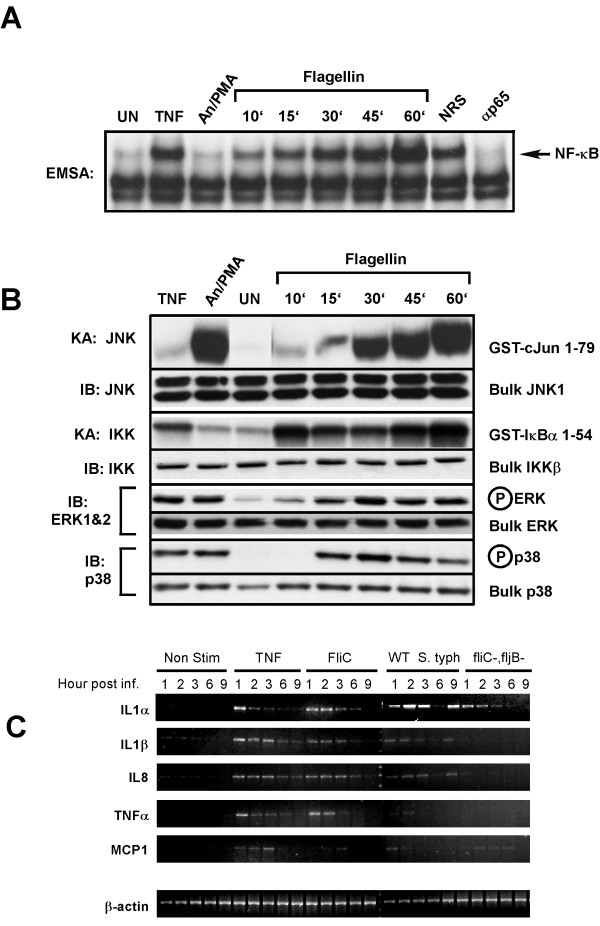 Purified flagellin activates signaling pathways and proinflammatory gene expression in intestinal epithelial cells mimicking that of wildtype a wild-type Salmonella infection. HT29 cells were left untreated or treated with TNFα (10 ng/ml) or a cocktail of anisomycin [An] (20 μg/ml)/PMA (12.5 ng/ml) for 10 min, or with flagellin (1 μg/ml) for the indicated times. WCE were prepared and analyzed by EMSA for NF-κB DNA binding activity, immuno-kinase assays (KA) or immunoblot analysis using phospho-specific antibodies for ERK or p38 to detect activation and with kinase-specific antibodies as described in Fig. 5A to detect bulk kinase abundance as indicated. A, EMSA to detect NF-κB DNA binding activity. Authenticity of the NF-κB bandshift was tested with supershift of the complex with p65(RelA)-specific antibody (α p65), normal rabbit serum (NRS) served as an irrelevant antibody control. B, immunoblot and kinase assays to detect IKK, JNK, ERK and p38 kinase activities and protein abundance as in Fig. 5A. C, semi-quantitative RT-PCR of proinflammatory gene expression of non-treated, wild-type and flagellin double mutant Salmonella typhimurium infected, TNFα (10 ng/ml) or flagellin (1 μg/ml) stimulated cells. HT29 cells were harvested at the indicated times after the indicated treatments and isolated RNA was used to make first strand cDNA that subsequently used in RT-PCR reactions (as described in Experimental Procedures) using gene-specific primers for IL1α, IL1β, IL-8, TNFα, MCP1 and β-actin. β-actin was used as a standard for normalizing expression patterns. Resulting PCR products were fractionated on 2% agarose gels and visualized by eithidium bromide staining.