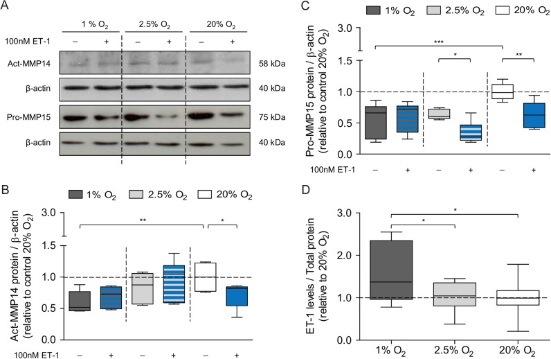 Low oxygen tension modulates the effect of ET-1 on MMP14 and MMP15 down-regulation: Primary trophoblasts (GW 7–11, n = 12) were incubated under three different O 2 tensions (1% O 2 , 2.5% O 2 and 20% O 2 ) in the absence (control) or presence of 100 nM ET-1 for 24 h; ( A–C ) MMP14 (active form, act-MMP14) and MMP15 (pro-MMP15) protein levels were determined by Western blotting; ( D ) ET-1 levels were measured in the supernatants from the controls by ELISA; Results were normalized to <t>β-actin</t> protein levels (A and B) or total protein (D) and calculated as fold change relative to the controls (20% O 2 ), arbitrarily set to 1; Data are representative for at least four experiments; * P