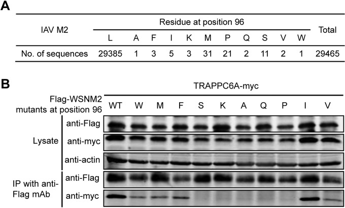 Mutation at position 96 of M2 affects its interaction with TRAPPC6A. (A) Sequence analysis of IAV M2 at position 96. All of the IAV M2 sequences deposited in GenBank by 6 July 2014 were downloaded. The identity of the amino acids at position 96 was statistically analyzed. (B) Plasmids expressing TRAPPC6A-Myc and Flag-WSNM2 or Flag-WSNM2 with different mutations at position 96 were cotransfected into HEK293T cells for 48 h before the preparation of cell lysates. Following immunoprecipitation with a mouse anti-Flag MAb, the immunoprecipitates were analyzed by Western blotting using a rabbit anti-Flag polyclonal antibody or a rabbit anti-Myc polyclonal antibody to reveal the presence of M2 and TRAPPC6A, respectively.