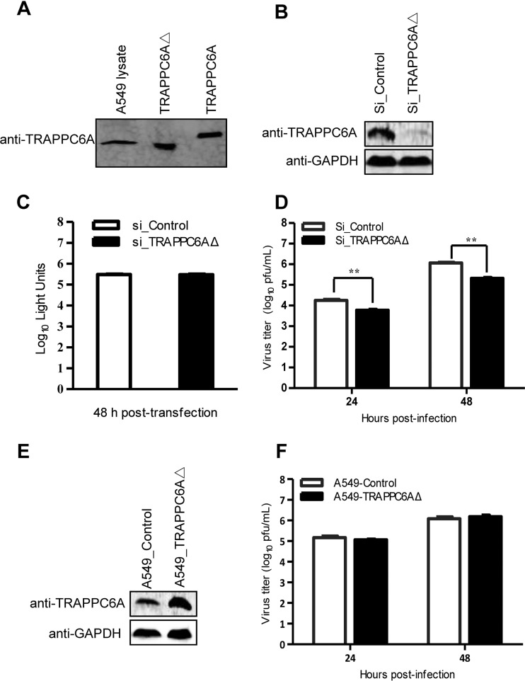 TRAPPC6AΔ positively modulates influenza virus infection. (A) Endogenous expression of TRAPPC6AΔ in A549 cells. Whole lysates of A549 cells grown in 12-well plates were subjected to Western blotting with a rabbit anti-TRAPPC6A polyclonal antibody. HEK293T cell lysates transiently transfected with pCAGGS-TRAPPC6A or pCAGGS-TRAPPC6AΔ were used as a control. (B) siRNA knockdown of TRAPPC6AΔ in A549 cells. A549 cells were transfected with siRNA targeting TRAPPC6AΔ or nontargeting siRNA for 48 h. Whole-cell lysates were then collected and analyzed by Western blotting with a rabbit anti-TRAPPC6A polyclonal antibody. (C) Cell viability of siRNA-treated A549 cells measured by using the CellTiter-Glo assay. A549 cells were transfected with siRNA as described above for panel B. The data are presented as means ± standard deviations for triplicate transfections. (D) Virus replication in siRNA-treated A549 cells. Cells transfected with siRNA as described above for panel B were infected with WSN virus. At 24 and 48 h p.i., supernatants were collected and titrated for infectious virus by plaque assays in MDCK cells. Three independent experiments were performed, and data are shown as means ± standard deviations for triplicates from a representative experiment. **, P